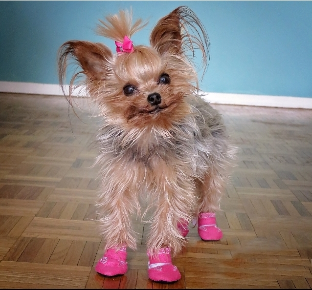 Small Dog Boots For Tiny Breeds | Alldogboots.c